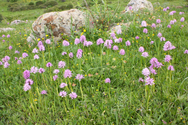 "A group of ""Orchis Italica"" (similar to UK common spotted orchids)"