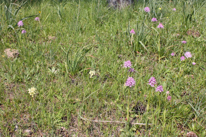 """Orchis Italica"" (pink spotted) & ""Orchis provincialis"" (the yellow orchids)"