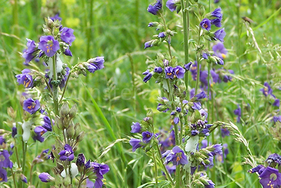Jacobs Ladder, just one of the many fine wildflowers to be found in Lathkill Dale