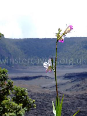 A lone bamboo orchid overlooking the Kilauea Iki Caldera - September 2008