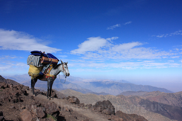 Placid, hard-working mule - High Atlas, Morocco